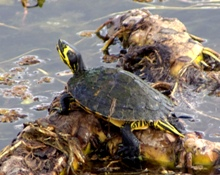 Cooter turtle relaxing in pond
